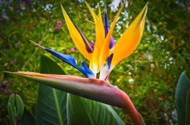 bird of paradise flower, caudata, flower