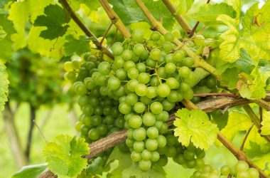 grapes, green, grapevine